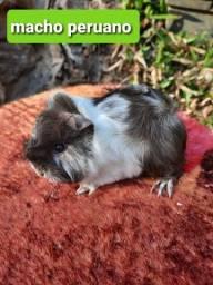 Título do anúncio: Porquinho da india Peruano macho