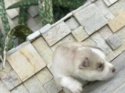 Husky Siberiano Filhote