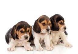 Beagle macho seu novo bebezinho