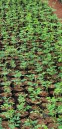 Mudas Moringa Oleifera