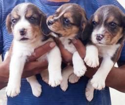 Vendo filhores de Beagle