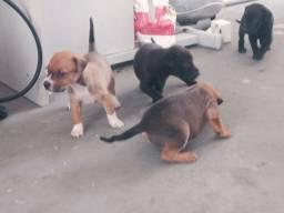 Doação de cachorro Vira Lata