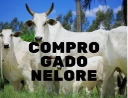 Compro Gado Nelore, Vacas e Bezerros