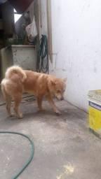 Vendo um cachorro dócil,educado da raça chow-chow com 1 ano de idade!