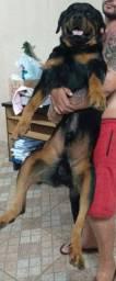 Rottweiler macho para cruza