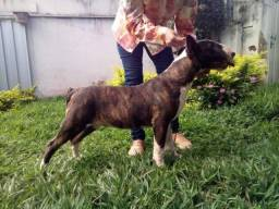 Bull Terrier em Uberlândia MG disponíveis para reserva
