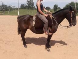Cavalo zaino  negro