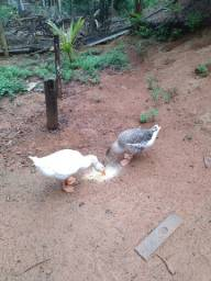 Vendo casal de gansos sinaleiros 160,00 o casal