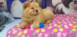 Chow-chow maravilha de filhote pedigree cbkc r$ 2000