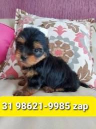 Título do anúncio: Canil Filhotes Cães Alto Padrão BH Yorkshire Basset Beagle Shihtzu Maltês