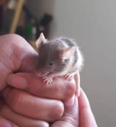 Filhotes de topolinos - ratinhos
