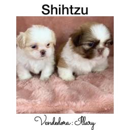 Título do anúncio: Shihtzu com pedigree e microchip em até 12x