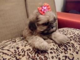 Título do anúncio: Shih tzu mini bem pequena maravilhosa !!!