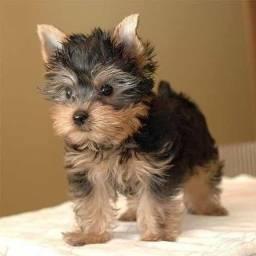 Título do anúncio: yorkshire terrier pronta entrega