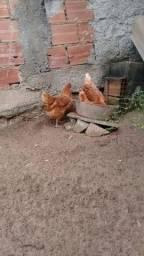 Vendo 3 galinhas