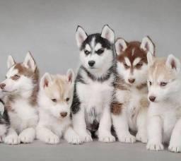 Título do anúncio: Adoráveis Filhotes de Husky Siberiano