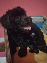 Cachorra poodle