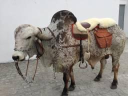 Boi manso para montaria