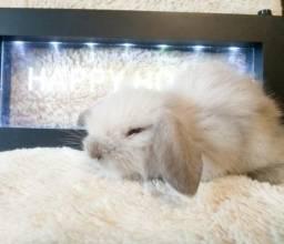 Mini coelho da raça fuzzy lop