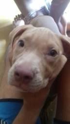 Filhote de american pit bull terrier com pedigree aceito celular no bolo