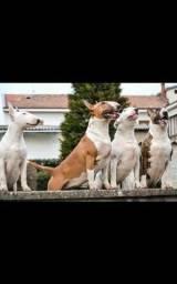 Bull terrier machos e fêmeas pedigree cbkc pronta entrega enviamos pra todo brasil