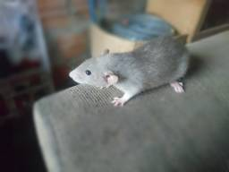 Ratos Twister Dumbo