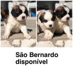 São Bernardo com pedigree e micro chip em até 18x