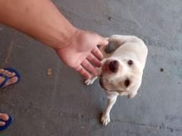 Para doação labrador