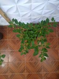 Pé de pimenta bode ou biquinho produzindo