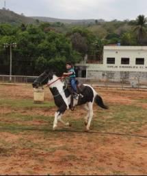 Cavalo pampa de preto mangalarga .
