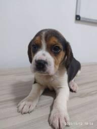 Filhote de beagle tricolor 13 polegadas