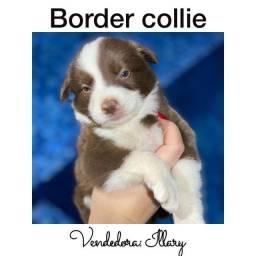 Título do anúncio: Border Collie com pedigree e microchip em até 12x