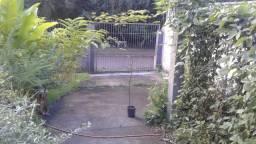 Muda grande de Pau-ferro 2 m árvore pau ferro