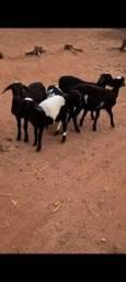 Lote de 5 carneiros machos