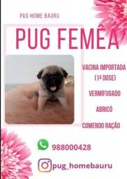 Cachorro Pug (Home Pug Bauru) FEMEA
