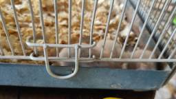 Título do anúncio: Hamster anão chines