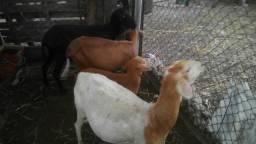 2 ovelhas buchudas,1parida