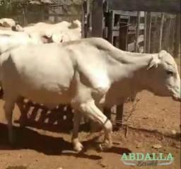 BOV898 - 60 Vacas 1/2 Caracu todas cheias em Santa Terezinha de GO