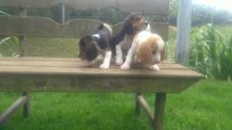 Tenho lindos filhotes de beagle