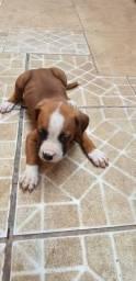 Filhote Boxer - Cachorros Lindos com 70 dias!