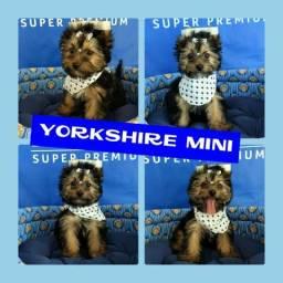 Disponível Yorkshire Mini Macho + Microchipe + Garantia + Parcelado 12X