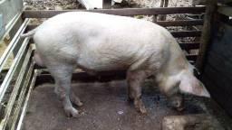 Vendo ou troco porco barrão!