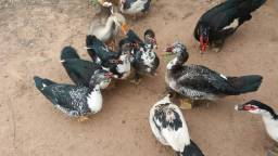 Lote de patos novos