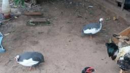 Casal de angolas