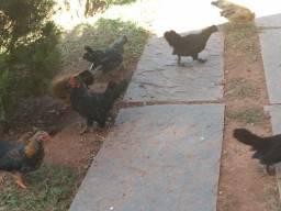 Galos e galinhas garnisés