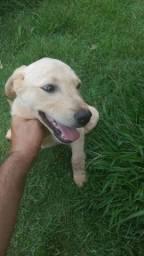 Labrador macho 3 meses