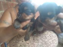 Cachorinhos yorkshire 1mes