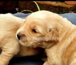 Filhote de Golden Retrievers disponíveis para reserva