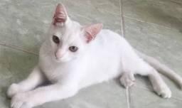 Gatinho branco para adoção