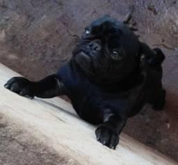 Linda fêmea de Pug leia anúncio com atenção